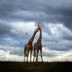 Schmusende Giraffen vor Wolkenhimmel