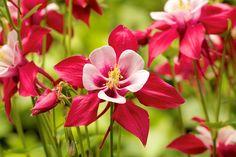 Akelei, Rot, Garten, Pflanze, Blüte, Natur, Flora