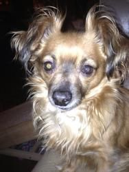 Reuben is an adoptable Papillon Dog in Homer, NY. Reuben is a sweet little man who is between 1-2 years old. He is house trained, up to date with shots, HW negative, and microchipped. He loves kids, g...