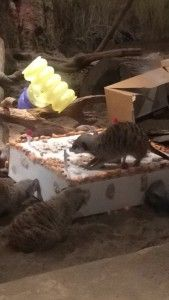 Happy 5th Birthday, Meerkats!  http://www.maritimeaquarium.org/blog/happy-5th-birthday-meerkats/?Itemid=192