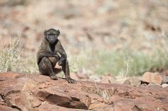 WLRFeaturedPic Martin Bailey Chacma Baboon. See his camera settings at http://www.wherelionsroam.com/featured-pic/