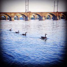 Ducks in a row // Harrisburg // Pennsylvania // Susquehanna river // artbynj