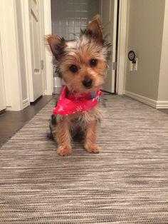Cutie Yorkie, first haircut