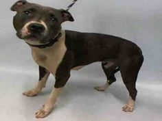 FIREWORKS – A1079899  **DOH HOLD 07/04/16**  FEMALE, GRAY / WHITE, PIT BULL MIX, 1 yr, 6 mos STRAY – STRAY WAIT, HOLD FOR DOH-B Reason STRAY Intake condition UNSPECIFIE Intake Date 07/04/2016, From NY 10304, DueOut Date 07/14/2016,