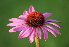 'The pink flower on green. Nature Photos, Pink Flowers, Green, Plants, Planters, Plant, Planting, Pink Blossom
