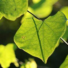 Even my garden is saying I  Autumn . . . . . . #OkanaganLens #Okanagan #OkanaganLife #OkanaganLight #RURAL #garden #green #gardening #gardenlove #foliage #Leaves #Autumn #InstaOkanagan #thelightlaughed #seasons #Nature #AutumnLove #AutumnDays #OkanaganGardens #greenleaves #greentones #cersiscanadensis #heartshapedleaves #treesinthegarden #tree #branches