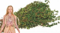 Cimbrul, o planta excelenta pentru sanatatea inimii si a oaselor. Trateaza acneea si ucide bacteriile - dr. Andrei Laslău Going Natural, Healthy Life, Healthy Food, Good To Know, Animals And Pets, Flora, Dreadlocks, Herbs, Hair Styles