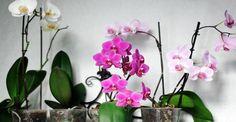 Mini phalaenopsis moth orchids in bloom. Citrus Tree Indoor, Flowers, Phalaenopsis, Indoor Orchids, Bloom, Nyc Florist, Houseplants, Citrus Trees, Plants