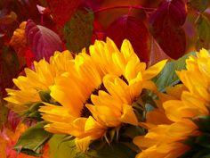 Kauf 'sunflower' von Andreas Wemmje auf Leinwand, Alu-Dibond, (gerahmten) Postern und Xpozer.