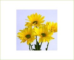 Mums (Daisy Blooms) Medium sized blooms; available in yellow, pink, white, red, orange, purple