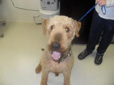 #VIRGINIA #URGENT ~ Rocky is an #adoptable #senior male #Airedale #Terrier #Dog in #Bedford. . ~~ To #adopt Rocky contact BEDFORD COUNTY ANIMAL SHELTER 1307 Falling Creek Road Bedford, VA 24523 PH 540-586-7690