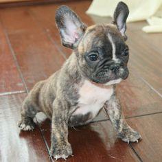 Light brindle french bulldog