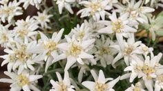 Edelweiss fleur porte bonheur