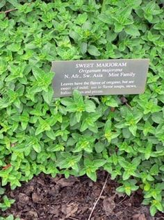 Sweet Marjoram is a fragrant herb that I will propigate from seed in containers and also transplant some to my front yard herb garden. This area is protected enought that I hope to establish it as a perenial. If not I will just replant every year.