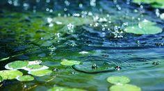 gotas de lluvia sobre los lotos...