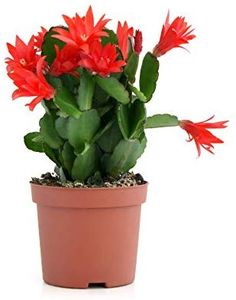 Do you know the difference between Christmas and Thanksgiving cactus (Schlumbergera). Flowering House Plants, Cactus House Plants, Red Plants, Cool Plants, Orchid Cactus, Cactus Flower, Flower Pots, Christmas Cactus Care, Easter Cactus