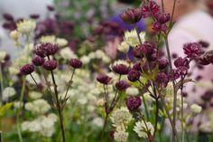 Stjerneskærm  mørk purpur, navn ukendt. Flowers may - sept. May not dry out. Trives bedst i halvskygge.