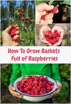 How To Grow Baskets Full of RaspberriesRaspberries are delicious, delicate members in the same botanical family as the rose and the blackberry. Also known as Rubus idaeus, raspberries conta. Raspberry Plants, Raspberry Tree, Hydroponic Farming, Hydroponics, Permaculture, Growing Raspberries, How To Plant Raspberries, Gardening Raspberries, Gardens