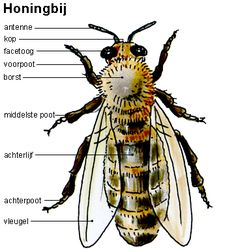 333 best images about Thema bijen kleuters / Theme bees . Bee Clipart, Nature Journal, Fauna, Bee Keeping, Bumble Bees, Eric Carle, Apothecary, Wood Carving, Montessori
