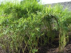 Willow wall and arbour