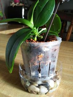 New Roots on Mini Orchid Growing Great