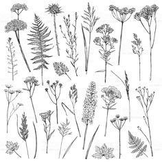 Set Of Illustrations Of Plants Sketch Freehand Drawing - Plant Drawing Tree Line Drawing Leaf Drawing Floral Drawing Ink Pen Drawings Realistic Drawings Tattoo Drawings Plant Illustration Watercolor Illustration Vintage Vector Illustrations Includes Bea Botanical Line Drawing, Botanical Drawings, Botanical Prints, Botanical Tattoo, Illustration Botanique, Plant Illustration, Tatoo Floral, Wildflower Drawing, Plant Sketches