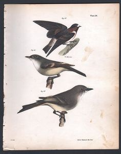 CLIFF SWALLOW - FLY CATCHER - PHOEBE - Original 1845 DeKay H/C Bird Print