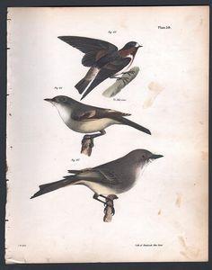 CLIFF SWALLOW - FLY CATCHER - PHOEBE - Original 1845 DeKay H/C Bird Print