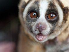 """Slow Loris he is saying """" OMG i'm soooooooooooooooooooooooooooooooooooooooooooooooooooooooooooooooooooooooooooooooooooooooooooooooooooooooooooooooooooooooooooooooooooooooo cute !!!!!!!!!!!!!!!!!!!!!!!!!!!!!!!!!!"""""""
