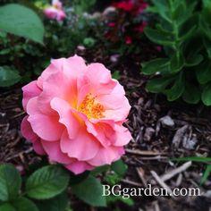 loretta x rose