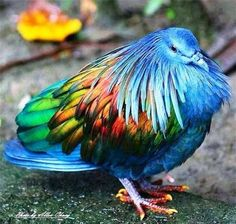 The beautiful Nicobar Pigeon. The Nicobar pigeon is a pigeon found on small islands and in coastal regions from the Nicobar Islands, east through the Malay Archipelago, to the Solomons and Palau. It is the only living member of the genus Caloenas. Pretty Birds, Love Birds, Beautiful Birds, Animals Beautiful, Cute Animals, Birds 2, Angry Birds, Glass Birds, Hello Beautiful