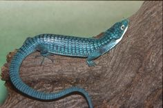Mexican Alligator Lizard :: Saint Louis Zoo