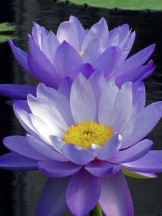 - Water lilies to use as color reference for regular water lily crepe paper tutori… Water lilies to use as color reference for regular water lily crepe paper tutorial Exotic Plants, Exotic Flowers, Purple Flowers, Beautiful Flowers, Lotus Flowers, Purple Lily, Water Flowers, Water Plants, Water Water