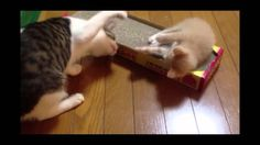 子猫こむぎvs赤ちゃん猫だいず;猫おもしろ動画