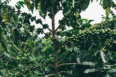 Coffee Trees by Richard Brown - Stocksy United Coffee Images, Trees, Stock Photos, Fruit, Brown, Plants, Arbor Tree, Coffee Pictures, Tree Structure