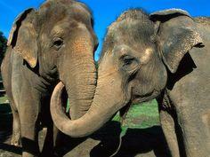 Индийский слон фото