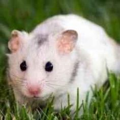 If you are wondering about pet hamster care or how to take care of a hamster, that means you've probably recently adopted a pet hamster.    Congratulations!...