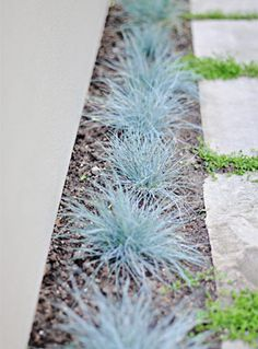 "- Festuca glauca 'Elijah Blue' -Vernonica liwanensis or Turkish Speedwell grows between the sandstone pavers. It flowers for only about a week and then transitions to green, glossy leaves which harmonize well with grass and other green hued plants"" Modern Landscaping, Front Yard Landscaping, Front Walkway, Modern Garden Design, Landscape Design, Contemporary Garden, Back Gardens, Outdoor Gardens, Dream Garden"