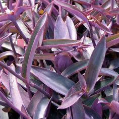 Our selection is called 'Purple Queen', and its succulent leaves are a rich deep shade that is garnished with small, tri-cornered pink blooms that come and go quickly throughout the summer. Purple Heart Plant, Purple Plants, Leafy Plants, Indoor Plants, Zone 8 Plants, Plants That Like Shade, Snake Plant Care, Benefits Of Gardening, White Flower Farm
