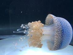 Jellyfish, Chicago XIX