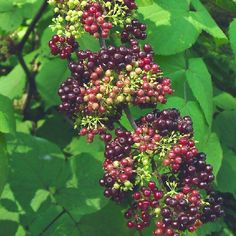 Spikenard Stimulates the Immune System and Relaxes Both Body