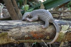 Coal Companies Threaten to Destroy Last Remaining Habitat of the Highly Endangered Pangolin
