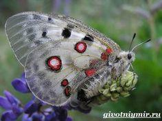 Аполлон-бабочка-Образ-жизни-и-среда-обитания-бабочки-аполлон-4