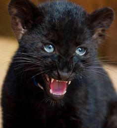 Baby black panther with plenty of attitude. Baby Panther, Panther Cub, Pretty Cats, Beautiful Cats, Animals Beautiful, Big Cats, Cats And Kittens, Cute Cats, Cute Baby Animals