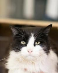 Adoptable Fridays: Meet Angel! Angel is an adoptable Domestic Medium Hair Cat in Killeen, TX.  Find out more about Angel! #pets #cats #animals