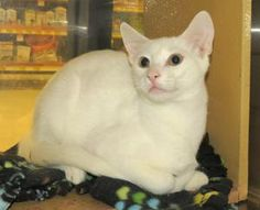 BURKE - SWEET SNUGGLER!!! is an adoptable Domestic Short Hair Cat in Frisco, TX.  Burke is a pretty white kitty with gorgeous gold eyes. He looks a lot like his brother, but they have different colore...