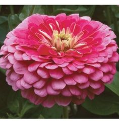 Davids Garden Seeds Flower Zinnia Benarys Giant Carmine Rose Heat Tolerant Rose 50 Open Pollinated Seeds >>> To view further for this item, visit the image link. Garden Seeds, Garden Plants, Beautiful Gardens, Beautiful Flowers, How To Attract Hummingbirds, Attracting Hummingbirds, Ornamental Cabbage, Colors For Dark Skin, Grow Organic