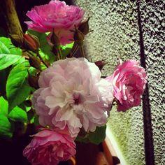 Rosas de Santa Teresinha - Maio 2015