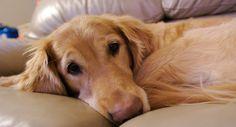 La leishmaniosis en perros #perro #perros #mascotas