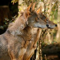 Red Wolves (Canis rufus) #fierce #pretty